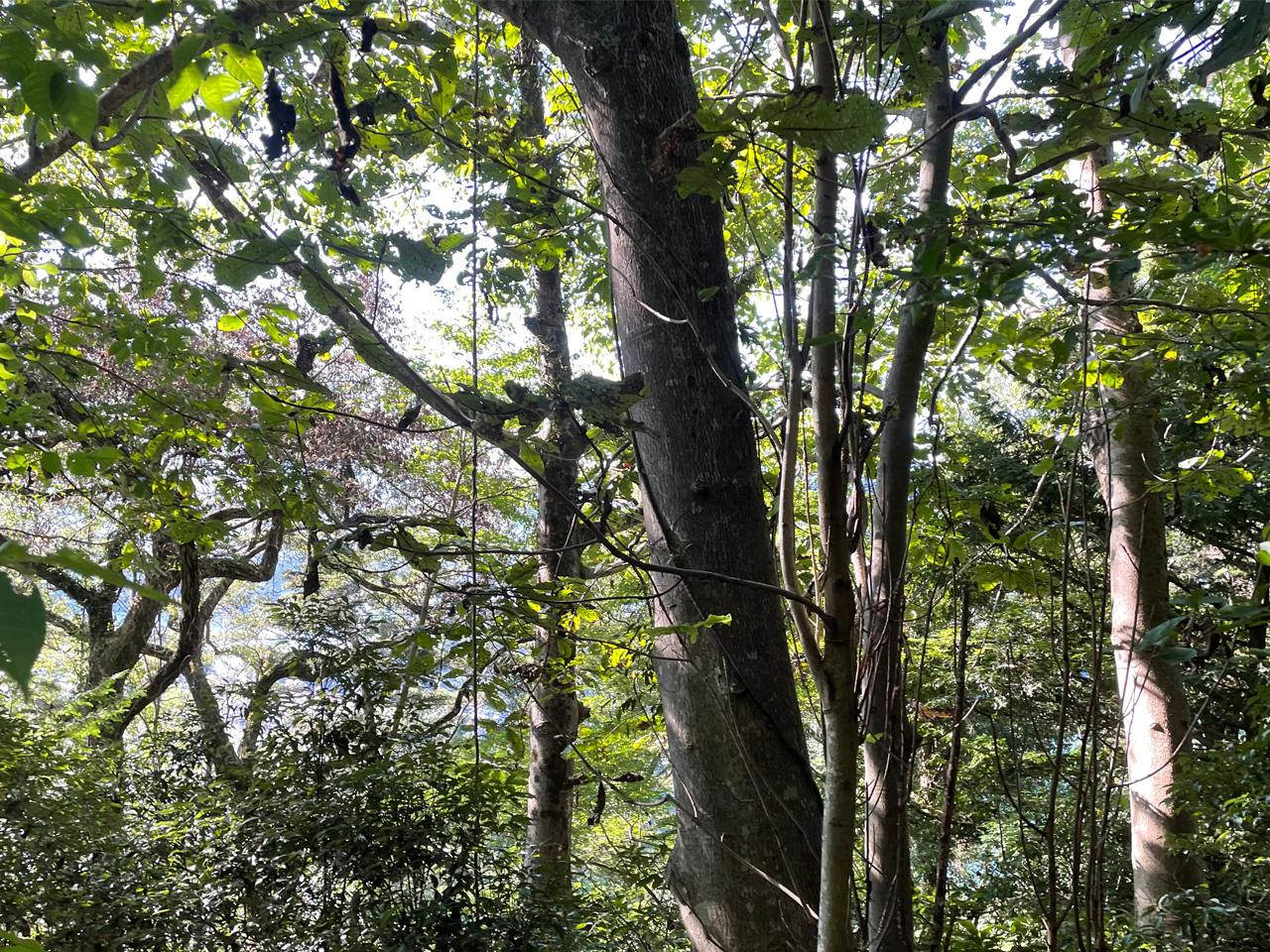 津久井城山の山道の木