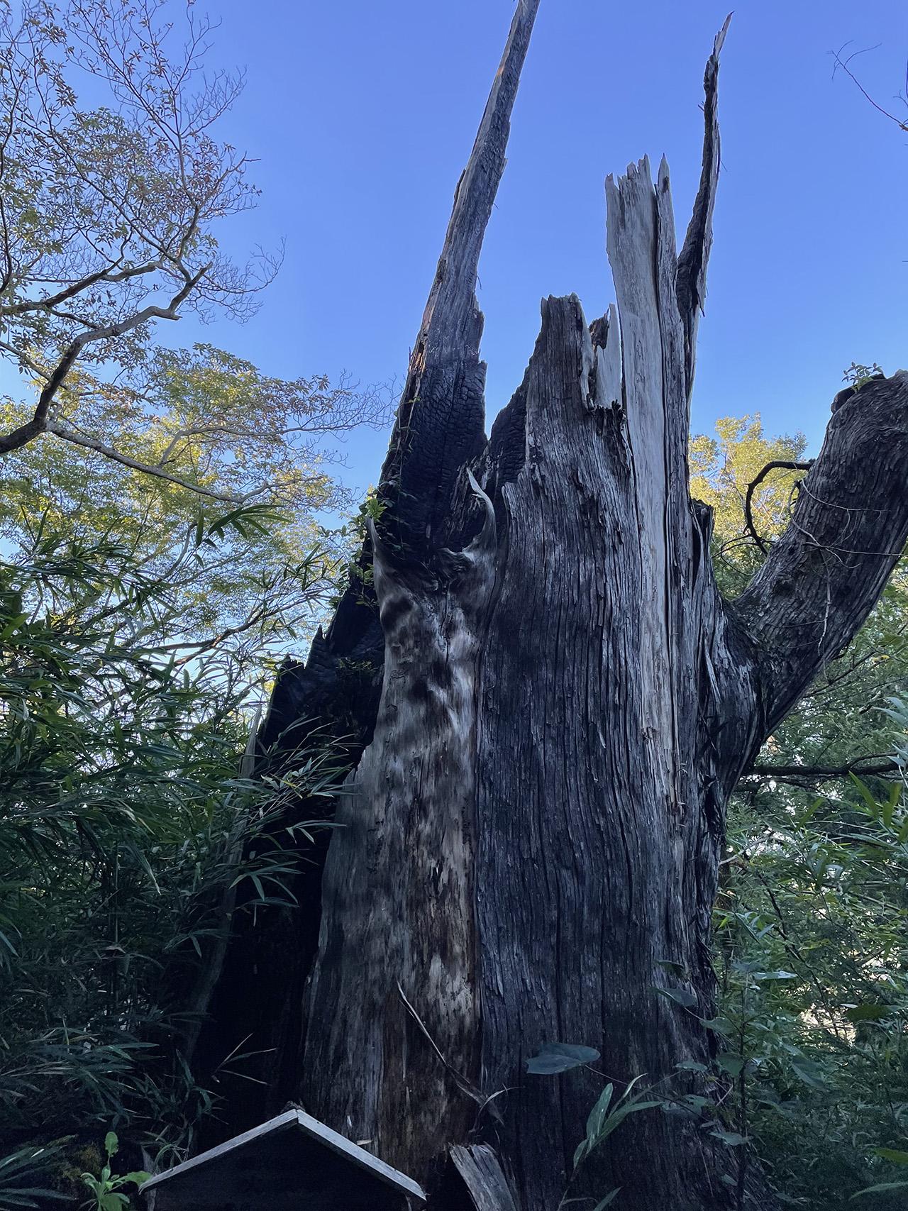 津久井城山の大杉跡