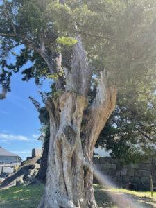 小田原城銅門横の巨木
