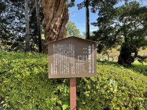 小田原城址のイヌマキ