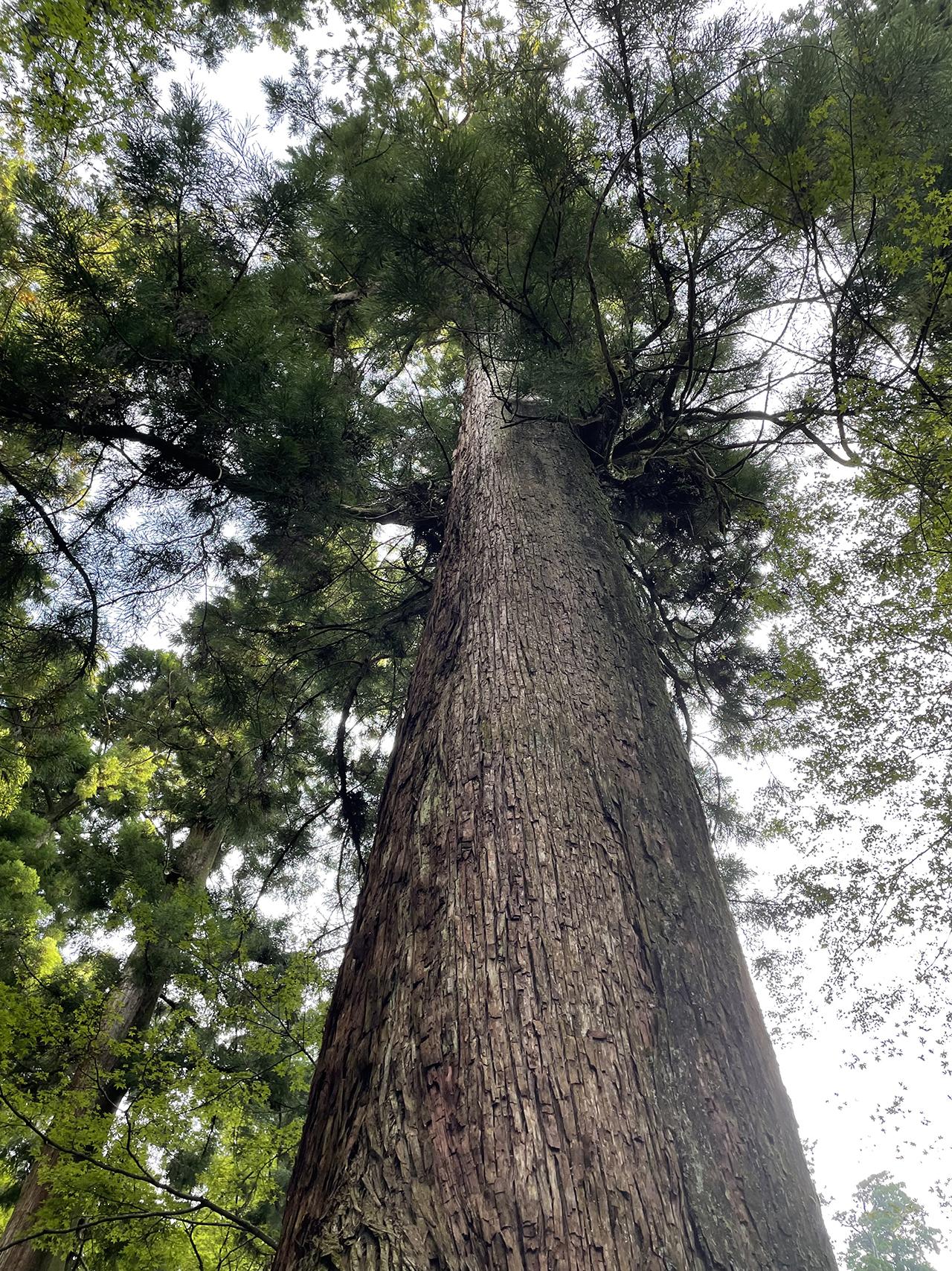 最乗寺の天まで届きそうな大杉